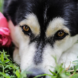 Flower power by Mariesa Taljaard - Animals - Dogs Puppies ( huskies, dog, puppies, flower, dog portrait,  )