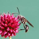 Trypoxylon wasp