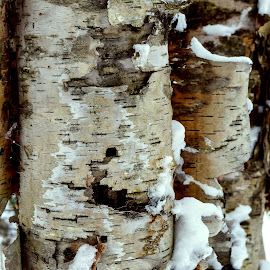 BIRCH by Marc-Andre Grenier - Nature Up Close Trees & Bushes ( birch, bark, snow, winter, cold )