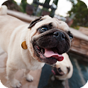 Pug Dog Pack 2 Live Wallpaper icon
