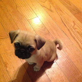 Little Mabel :) by Sabrina Spencer-Braden - Animals - Dogs Puppies