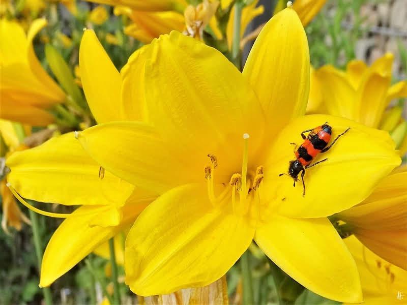 2019-06-02 LüchowSss Garten Gelbe Taglilie (Hemerocallis lilioasphodelus) + Bienenkäfer (Trichodes apiarius)