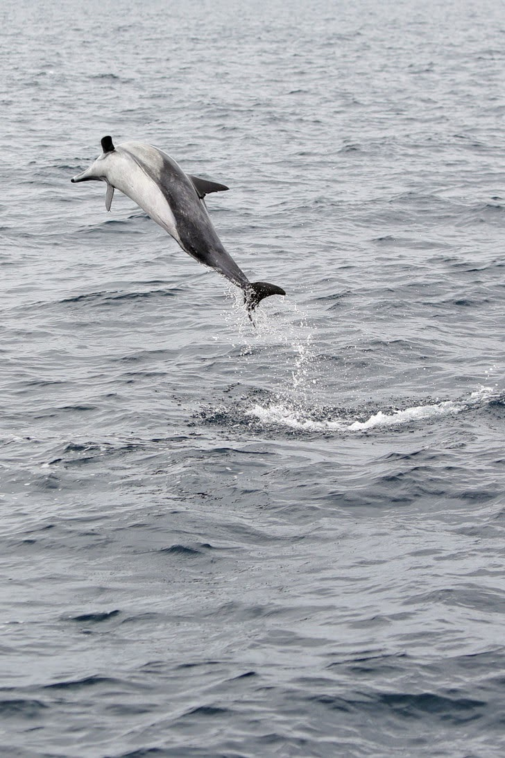 Common Dolphin - Things to See in San Diego.