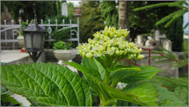 Photo: Hortensie (Hydrangea) - din Cimitirul Crestin Central - 2017.07.05