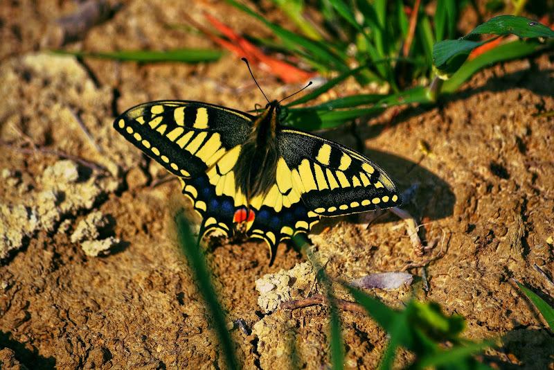 Papillon di Zozy
