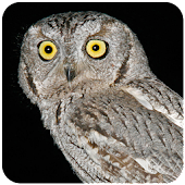 Owl Sound At Night