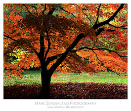Photo: #TreeTuesday  The Backlit Maple  When I lived in Bath I used to visit Westonbirt Arboretum every October for the lovely autumnal colours. The Backlit Maple is generally set as a photographic challenge every year, and it's quite tricky to get a good shot as it's rather dark under the canopy of leaves and the clearing behind the tree gives strong backlighting, so on a bright sunny day the light is far too harsh and contrasty. This shot was taken in soft diffused light, with a touch of mist hanging in the treetops which gave the perfect light for the subject.  If you're in south-west England it's well worth a visit this autumn! Weekdays are best for photography as it gets very busy at weekends.  Deardorff 45 Special, Schneider Symmar-S 210mm, Fuji Velvia 50, 1s at f22