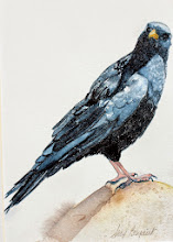 Photo: Swiss Crow.  watercolor.  5x7