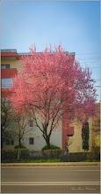 Photo: Corcoduş ornamental roşu (Prunus cerasifera Nigra) - de pe Calea Victoriei - 2018.04.11