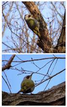 Photo: 撮影者:村山和夫 鳥名:アオゲラ タイトル:アオゲラ現る 観察年月日:2014/1/5 羽数:2羽 場所:片倉の集いの森公園 区分:行動 メッシュ:八王子6G コメント:朽ちた枝の樹皮を剥がし、中に潜んでいる虫を食べていた。この林はアオゲラの巡回コースになっていて毎日現れる。木の葉が落ちて観察し易い。
