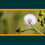 App Icon for Weeds of Australian Cotton App in Czech Republic Google Play Store