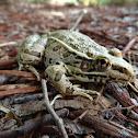 Rio Grande leopard frog or Mexican leopard frog
