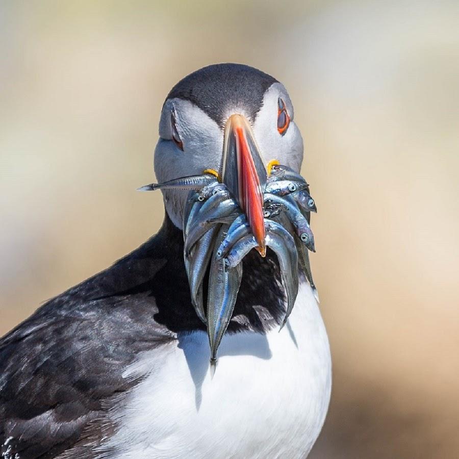 How's fishing by Strange Jazzy - Animals Birds ( bird#puffin#,  )