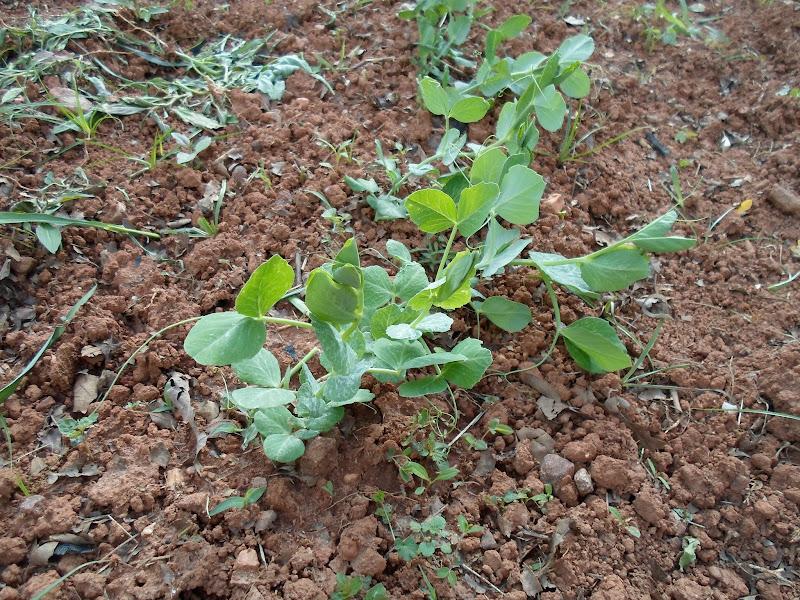 Photo: Pea plants