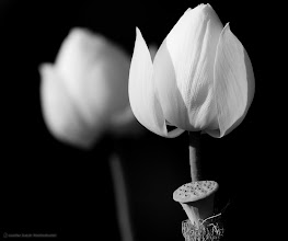 Photo: Lotus Flowers - these were also screaming for a bit of Silver Efex Pro.