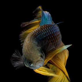Dance With Betta Fish by Hindra Komara - Animals Fish ( black background, halfmoon, betta, photograph, colorful, national geographic, indonesia, fish, yellow, photography, photooftheday, animal,  )