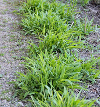 Photo: Deer-tongue grass