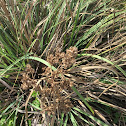Makaloa sedge grass