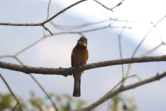 Photo: Little Bee-eater at the lodge