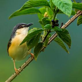 Ashy Prinia by Vasanth Photographer - Animals Birds ( single, ashy prinia, bird, perched, birds,  )