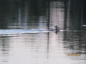 Photo: Deer swimming in front of Cedars
