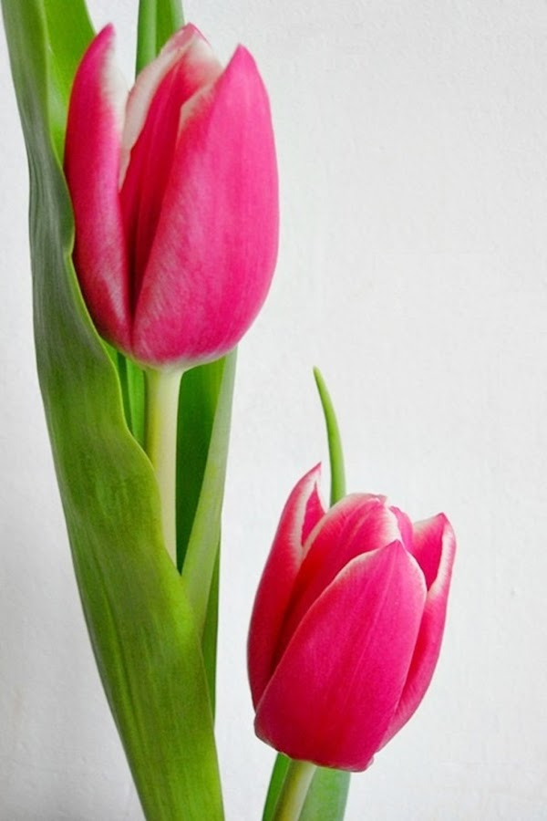 Duo Rose Tulip by Yola Vandergunst - Nature Up Close Flowers - 2011-2013 ( bunga, keukenhof, tulip, spring, flower )