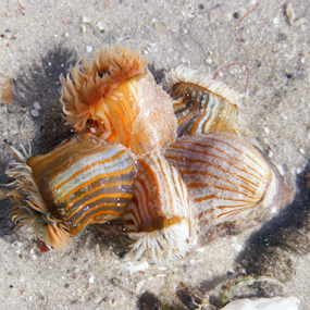 Water Critters by Jennifer van Niekerk - Nature Up Close Other Natural Objects ( water, orange, sand, shell, shells, lagoon, species, copper, waterscape, tropical, white, tropic, ocean, beach, beachscape, waterscapes, cream, organism, organisms, water organisms )