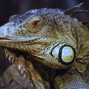 Green Iguana on exhibit by Benny Lopez - Animals Reptiles ( iguana,  )