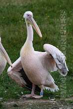 Photo: Vogelpark Marlow, Pelikan