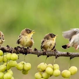 Coming.... by Bernard Tjandra - Animals Birds