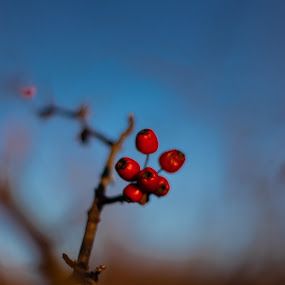 red fruits by Paul Voie - Nature Up Close Trees & Bushes ( red, close up, nature, autumn, sunny,  )