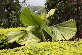 Photo: Day 339 -  Palm in the Gardens of the Doi Tung Royal Villa