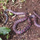 Ornate Coral Snake