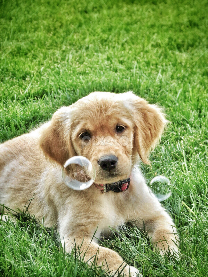 Tiny Bubbles by Cindy Taverne - Animals - Dogs Puppies ( bubbles, puppy, golden retriever,  )