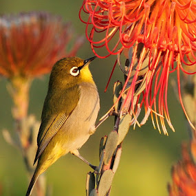 by AB Rossouw - Animals Birds ( bird, flower )
