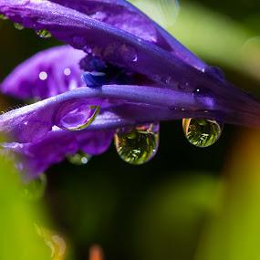 Babiana 3 by Simon Hall - Flowers Single Flower (  )