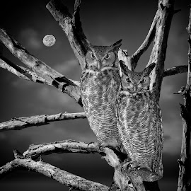 Owl Pair at night by Sandy Scott - Digital Art Animals ( black & white, nature, night, birds, raptors, moon, birds of prey, dead tree, rule of thirds, owls, animals, great horned owls, wildlife )