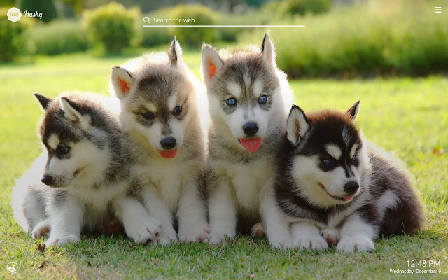 My Husky Cute Dog Puppy Hd Wallpapers