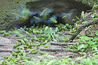 Photo: Cobalt-winged Parakeets