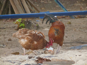 Photo: so many coconuts the chickens even get to enjoy them!