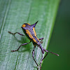 Long-clubbed Weevil
