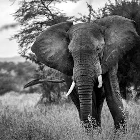 the soul flies by Lara Zanarini - Animals Other Mammals ( mammals, animals, serengheti, elephant, white, lara, africa, tanzania, black, zanarini )