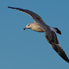 Gaviota patiamarilla (Yellow-legged gull)