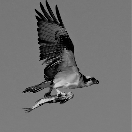 Osprey by Hal Gonzales - Black & White Animals ( bird of prey, fish, osprey, black and white, hunting,  )