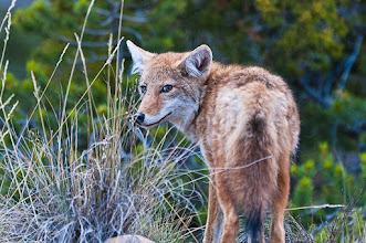 Photo: Coyote near the road to Chama