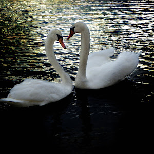 ljubav labuda.jpg