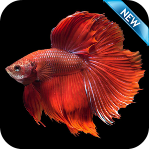 Betta fish wallpaper hd free android apps on google play for Betta fish live wallpaper
