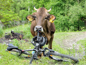 Photo: ...we got the 'bicyclevore cow'...