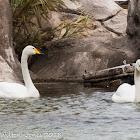 Whooper Swan; Cisne Cantor