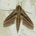 White-banded hunter hawkmoth